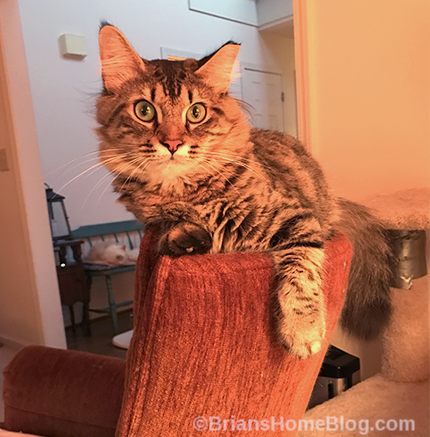 tabby tuesday simon - Brian's Home, adopt cats, we deserve it!