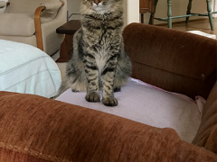 tabby tuesday simon 08152017 - Brian's Home, adopt cats, we deserve it!