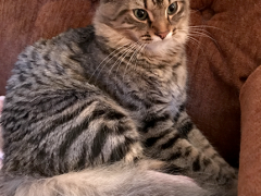 tabby tuesday simon 08292017 - Brian's Home, adopt cats, we deserve it!