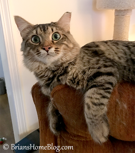 tabby tuesday simon 10312017 - Brian's Home, adopt cats, we deserve it!