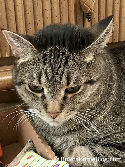 mancat monday brian 11062017 - Brian's Home, adopt cats, we deserve it!