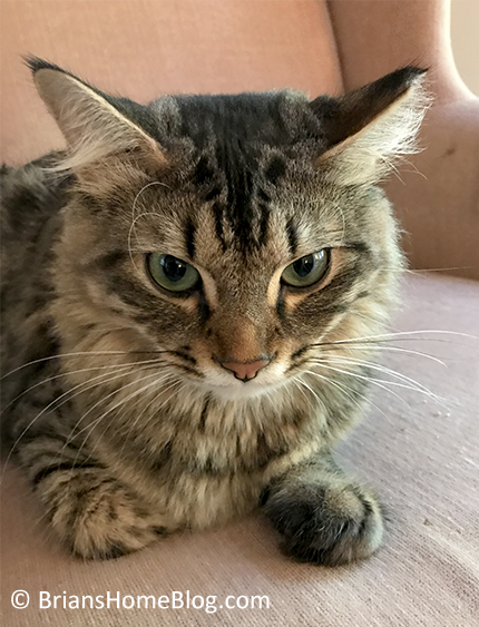 tabby tuesday simon 11072017 - Brian's Home, adopt cats, we deserve it!