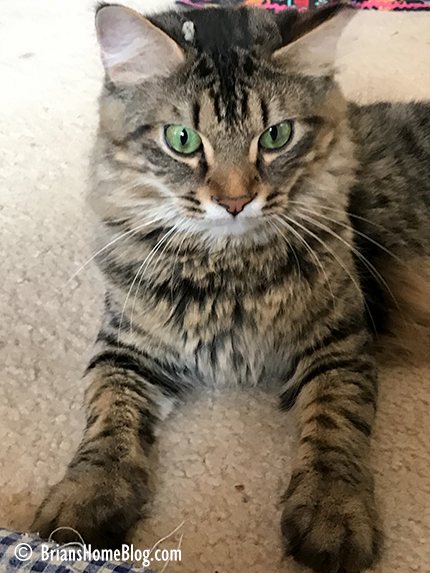 tabby tuesday simon 12262017 - Brian's Home, adopt cats, we deserve it!