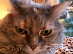 womancat wednesday whisker humps dolly 01032018 - Brian's Home, adopt cats, we deserve it!