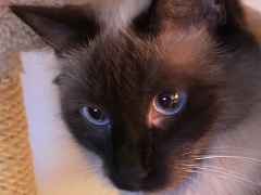 womancat wednesday whisker humps seal - Brian's Home, adopt cats, we deserve it!