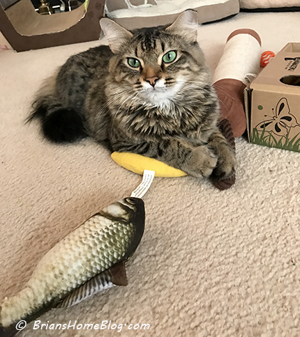 tabby tuesday simon 01232018 - Brian's Home, adopt cats, we deserve it!