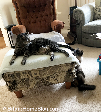 mancat monday brian seal tail 04022018 - Brian's Home, adopt cats, we deserve it!