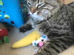 tabby tuesday simon 03132018 - Brian's Home, adopt cats, we deserve it!