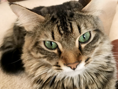 tabby tuesday simon 03202018 - Brian's Home, adopt cats, we deserve it!