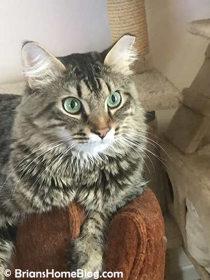 tabby tuesday simon 04172018 01 - Brian's Home, adopt cats, we deserve it!
