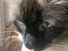 womancat wednesday whisker humps seal 04182018 - Brian's Home, adopt cats, we deserve it!