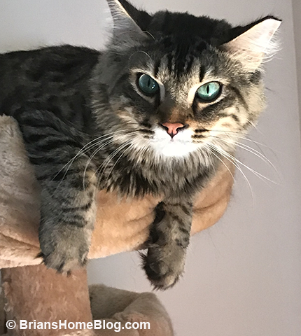 tabby tuesday simon 05222018 - Brian's Home, adopt cats, we deserve it!