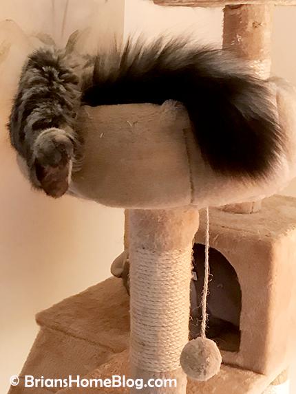 tgif simon 05182-18 - Brian's Home, adopt cats, we deserve it!