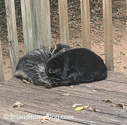 national feral cat day black zelda 10182019
