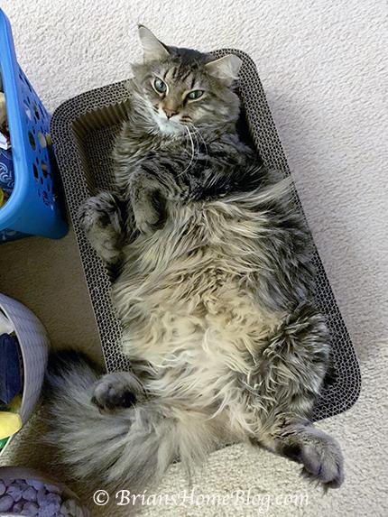 Feline Friday Belly Boxing Simon